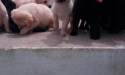 pure lab puppies for sale