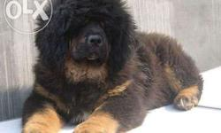 pure tibetan mastiff puppies good male sell quality