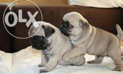 Piyu pets ;- offer top quality Pedigree puppies Belongs