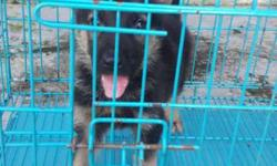 ready stock German shepherd for sell