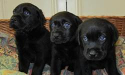 HI DOG LOVERS WE HAVE A MASSIVE QUALITY LABRADOR PUPPY