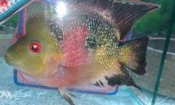Red And Gray Flowerhorn Cichlid