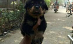 root puppy for sale puppy ur aduld available loest