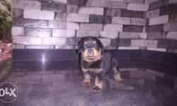 Rott puppys 7 females 3 males with kci certificate Sale