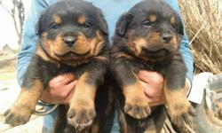 Rottweiler dog 40 days