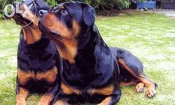 Rottweiler dog male and female for sale 2.5 year old