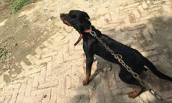 rottweiler female for sale 6 month old