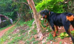 rottweiler female SALE or exchange with pups she have