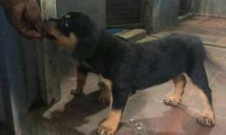 Rottweiler import lineage puppies available with KCI