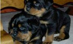 Two Black-and-tan Rottweiler Puppies