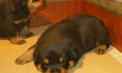 Rottweiler Puppies Available - Male & Female Have..