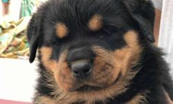 Rottweiler puppies ready for show homes... Very active