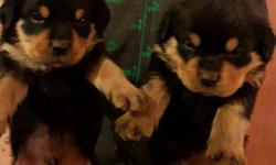 RottweilerPuppy available male 16000 Female 14000