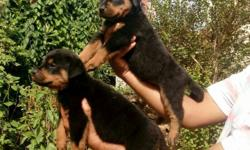 pair of Rottweillers