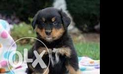 ROYAL KANNEL Rottweiler BLACK and TAN good puppies