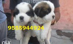 Saint Bernard and Rottweiler puppies for sell +Quality
