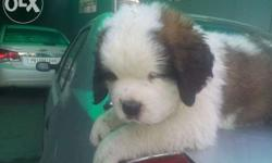 dog puppies for sale in Coimbatore South, Tamil Nadu