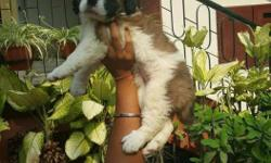 Saint bernard puppies available for show homes... Very