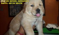 Imported quality golden retriever puppies available For