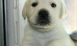 See Our Excellent quality LAB Male and Female Puppies