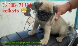 imported quality pug puppies for immediate sale. . very