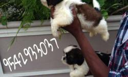 Shintzu we have nice and healthy,heavy bone puppies for