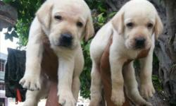 Show quality heavy size lab puppy's available