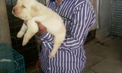Top show quality Labrador puppies avilable in Bagalkot