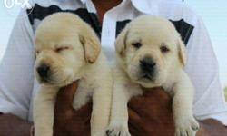 We have show quality Labrador male and female puppies