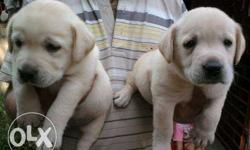 Imported Quality Labrador Puppies available Quality