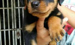 show quality Rott pups available for sale call me