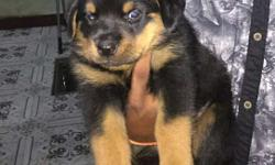 Show quality Rottweiler puppies for sale male female