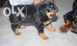 Rottweiler For Sale In Goa Classifieds Buy And Sell In Goa