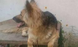 show room condition German sapat dogs full trained