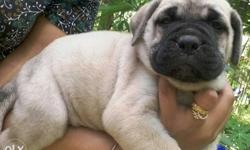 Shows quality kci certified bull mastiff puppies