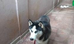 Siberian husky for sale pure breed price negotiable