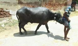 Murrah buffalo gives 13 ltr milk every day