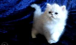 So Beautiful So Nice Persian Kittens & Cats For Sale.