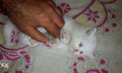 So Very Beautiful Persian cat and kitten for sale.in