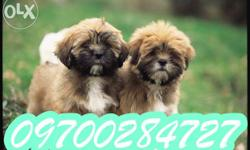 � Sportive Lhasa Apso top show quality puppy � GENUINE