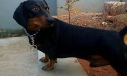 2 years old Dacshund male available for stud service.