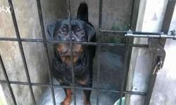 Stud Services for Rott, Doberman, Lab (Choclate &