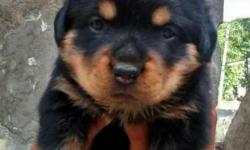 Show quality rottweiler pups pure breed female sell
