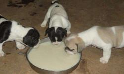 HI All, New Super French Bulldog Puppies For Sales Call