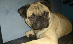 Awesome quality of pug with a lot of wrinkles for sale