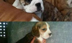 No1 quality of beagle puppies nice face well trained,