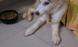 syberian husky, 2month old. we can negotiate price.