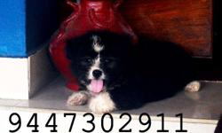 71 days aged 3 terrier puppies for sale.Male and female