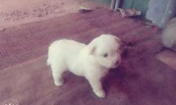 terrior puppy femail good quality