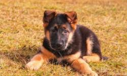 The German Shepherd Dog is well proportioned and very